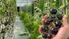 أرامكو السعودية تختبر تقنية الزراعة الرأسية لإنتاج المحاصيل في مشتل الظهران