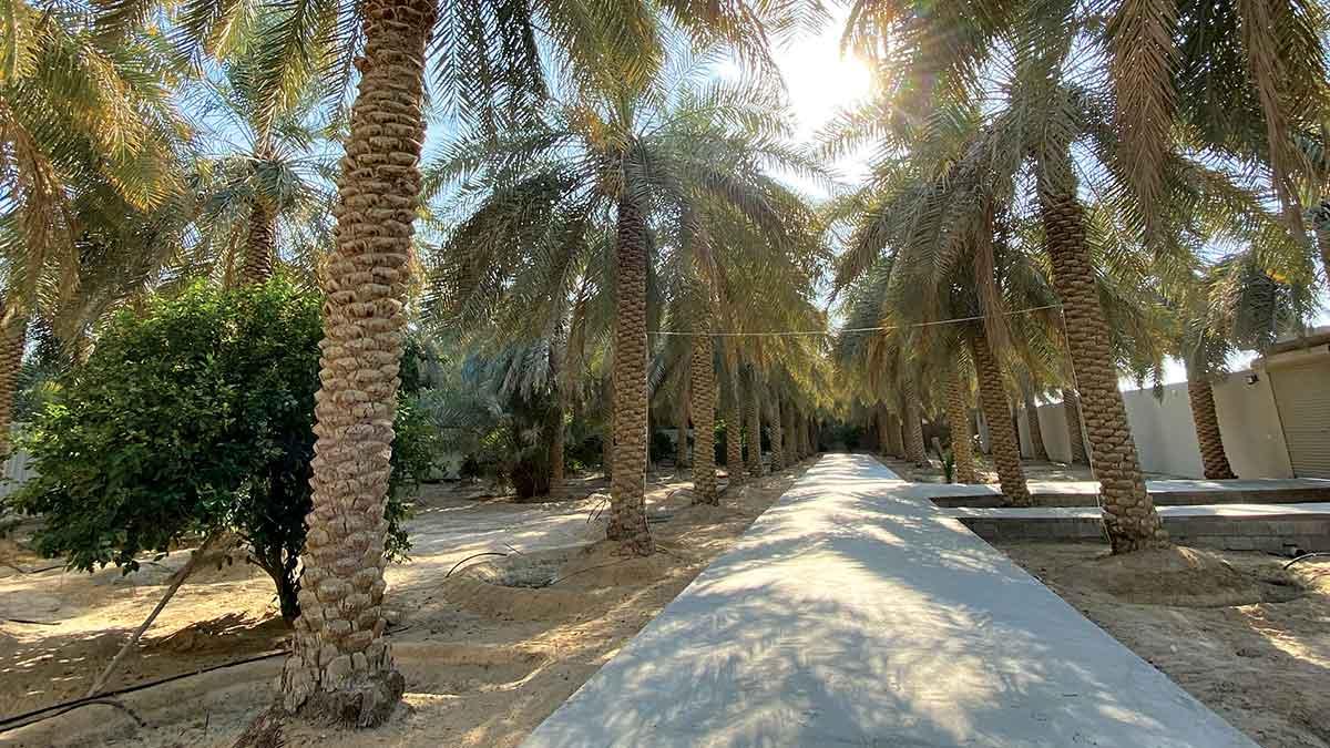 Reader's Album: Palm trees in al-Hasa