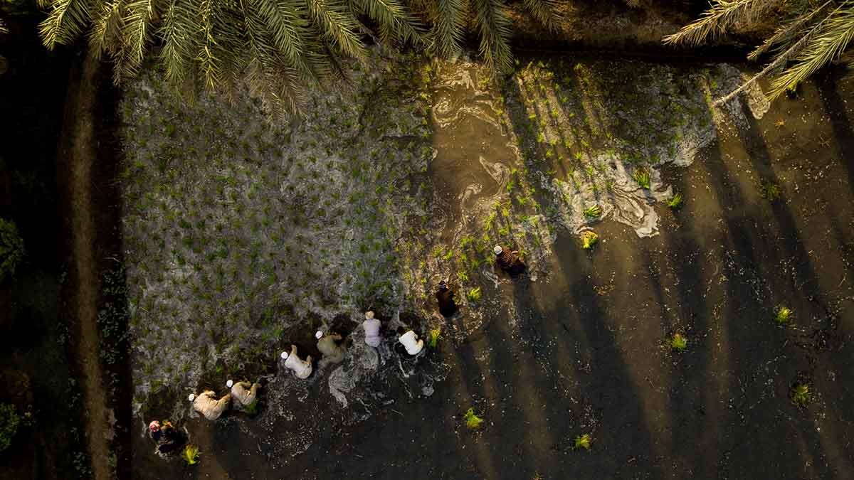 Readers Album: A bird's-eye view of rice planting