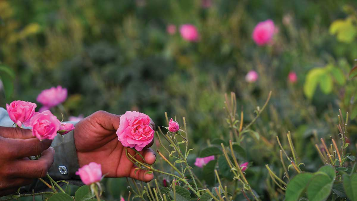 Travelogue: Come up smelling of roses in the garden of the Hijaz