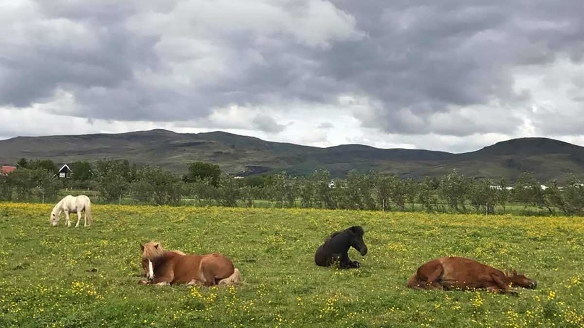 Readers Album: Equine beauty from the fields of Iceland