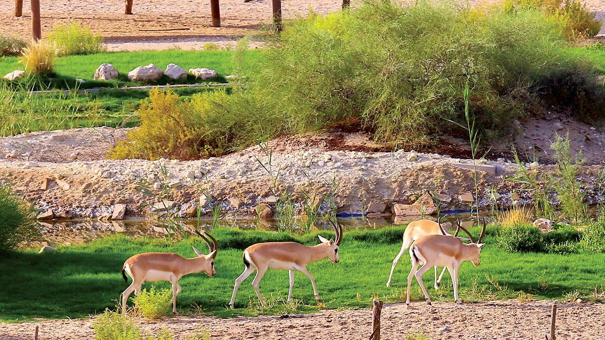Reader Album: Gazelles grazing in Abqaiq